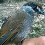 This bird wasn't seen for 170 years. Then it appeared in an Indonesian forest